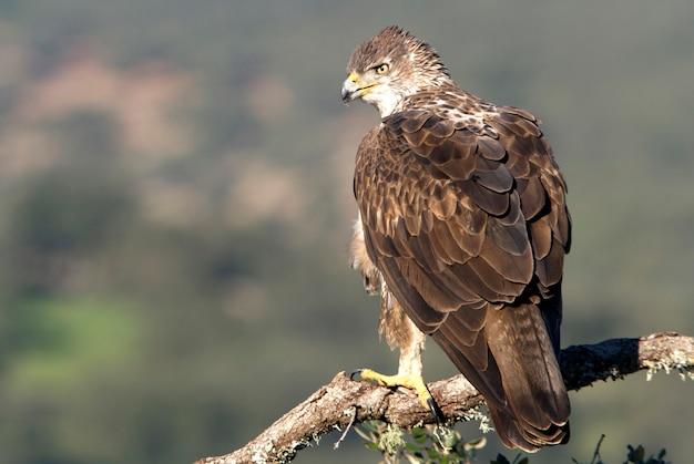 Volwassen vrouwtje van bonelli's adelaar, roofvogels, vogels