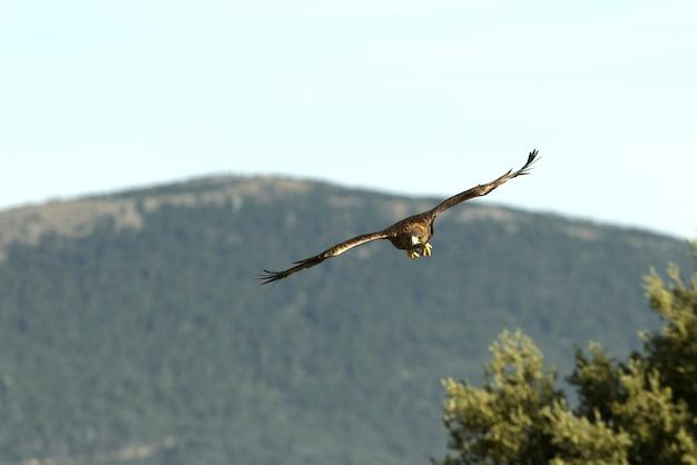 Volwassen vrouwtje van golden eagle vliegen