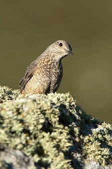 Volwassen vrouwtje van roodstaartrotslijster in haar broedgebied met bronstig verenkleed