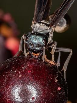 Volwassen warrior wasp van het geslacht synoeca