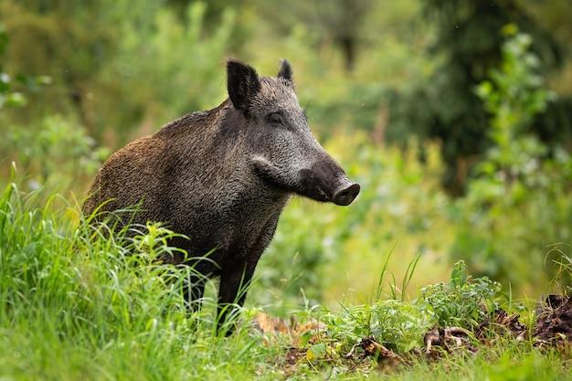 Volwassen wild zwijn met natte vacht staat alleen in het groene bos
