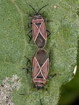 Volwassen witgekruiste zaadwantsen van het geslacht neacoryphus-koppeling