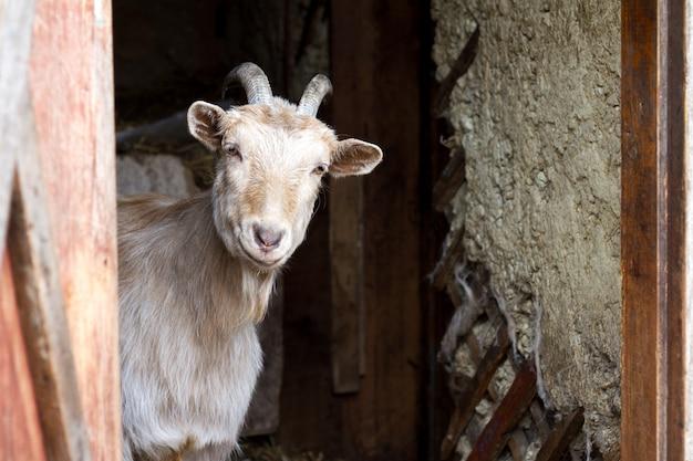 Volwassen witte geit met gedraaide hoorns kijkt uit de deuren van de schuur