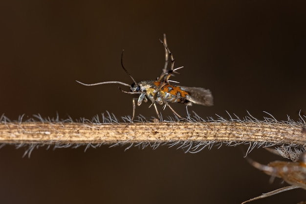 Volwassen zonnemot van de familie heliodinidae