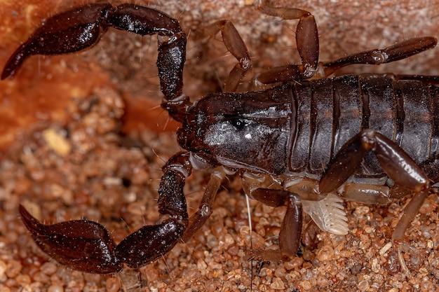 Volwassen zwarte schorpioen van het geslacht bothriurus