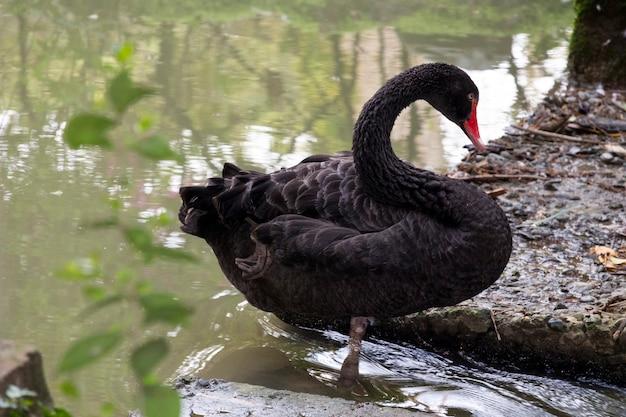 Volwassen zwarte zwaan close-up staande op de brug in de vijver en kijkend naar het water