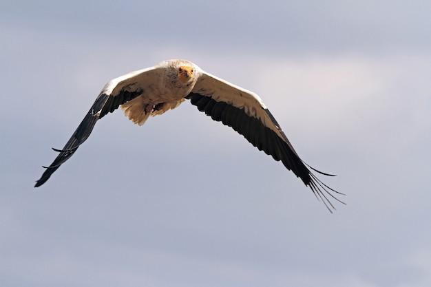 Volwassene van egyptische gier vliegen