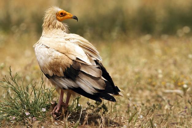 Volwassene van egyptische gier