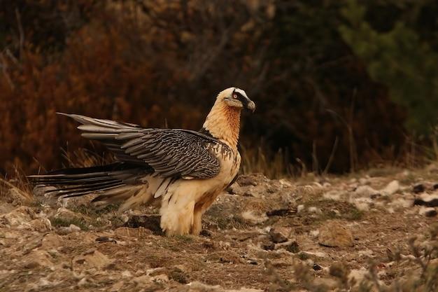 Volwassene van lammergeier, aaseters, gieren, vogels, gypaetus barbatus