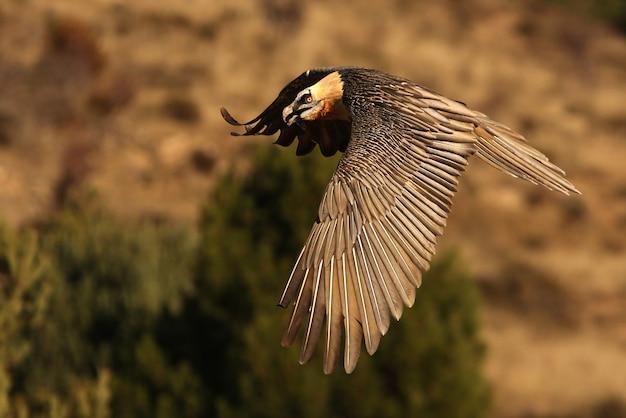 Volwassene van lammergeier vliegen, aaseter, gieren, vogels, valk, gypaetus barbatus