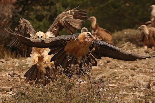 Volwassene van lammergeier vliegen, aaseters, gieren, vogels, gypaetus barbatus