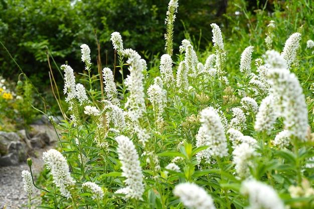 Volzhanka bloemen aruncus parvulus groeien in primorsky regio rusland