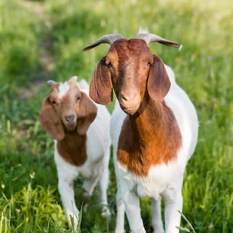 Vooraanzicht geiten op boerderij