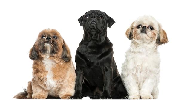 Vooraanzicht van drie honden die in een rij zitten die op wit wordt geïsoleerd