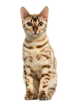Vooraanzicht van een bengaalse kattenzitting die op wit wordt geïsoleerd
