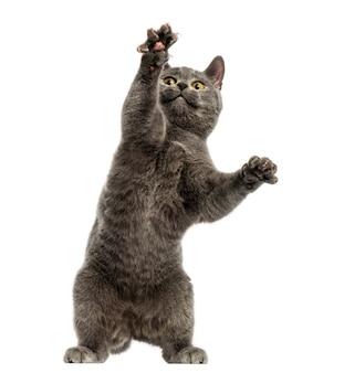 Vooraanzicht van een chartreux-katje op achterpoten, handtastelijkheden omhoog, geïsoleerd op wit