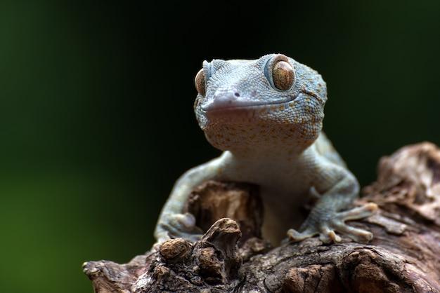 Vooraanzicht van een tokay-gekko