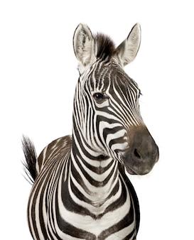 Vooraanzicht van een zebra op een geïsoleerd wit