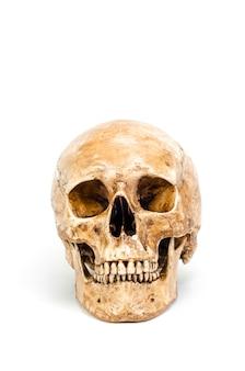 Vooraanzicht van menselijke die schedel op witte achtergrond wordt geïsoleerd