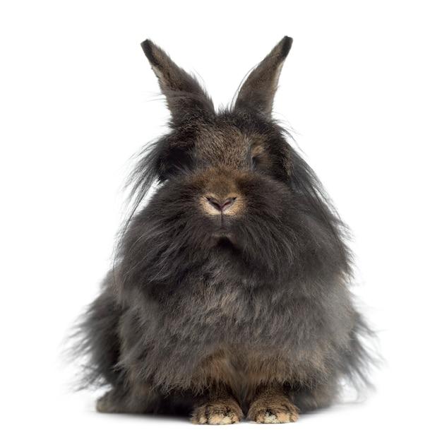 Vooraanzicht van mini snoeit konijn dat op wit wordt geïsoleerd
