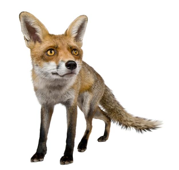 Vooraanzicht van red fox, permanent