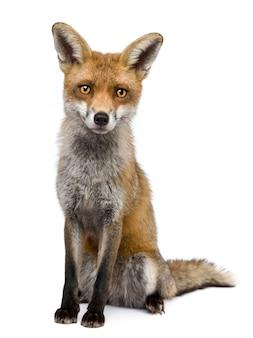 Vooraanzicht van red fox, zittend