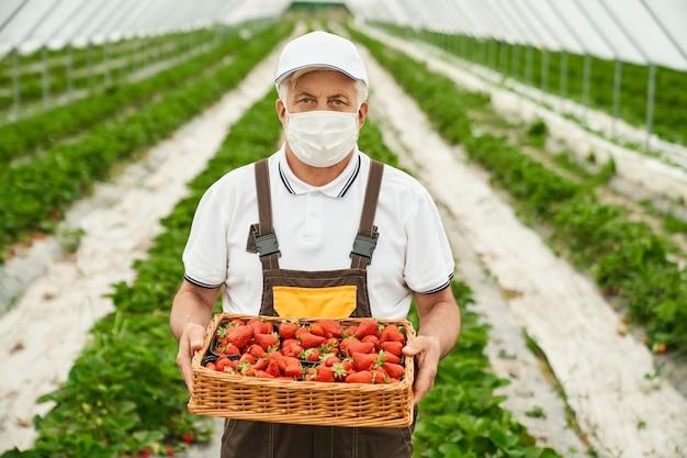 Vooraanzicht van senior boer in uniform en medisch masker die in de kas staat met een mand vol vers geplukte aardbeien. concept van mensen en tuinieren.