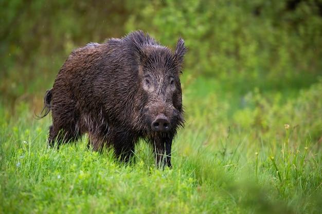 Vooraanzicht van volwassen everzwijn, sus scrofa, wandelen door het groene landschap