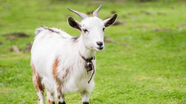 Vooraanzicht witte geit buitenshuis