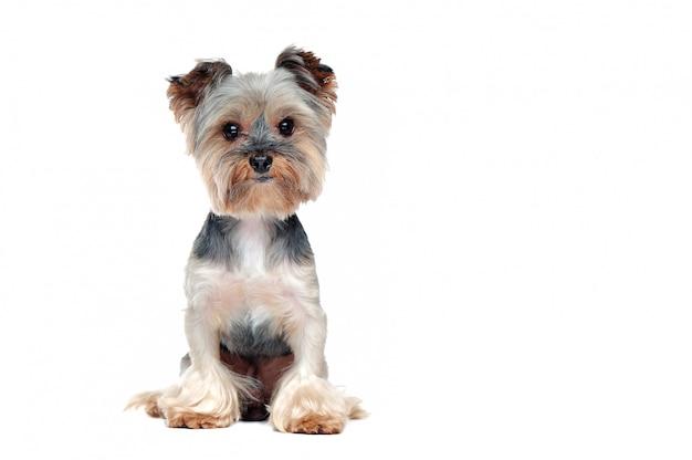 Vooraanzichtportret van een zittings yorkie hond op wit wordt geïsoleerd dat