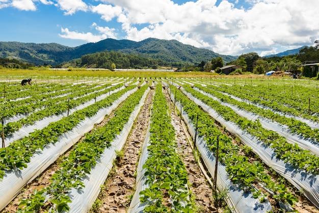 Voorbereiding van grond voor aardbeienteelt, aardbeigebied gedeeltelijk in chiang mai, thailand.