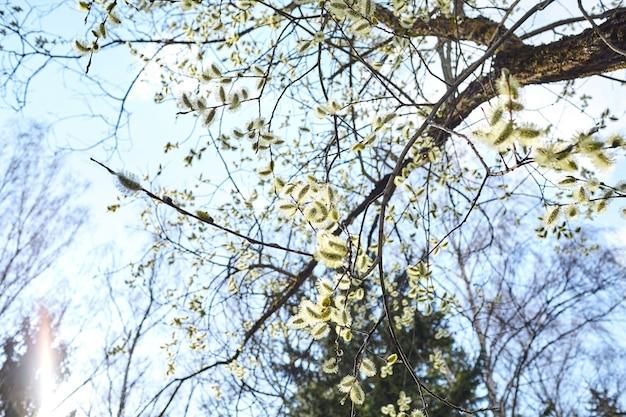 Voorjaar. bloeiende wilgentak