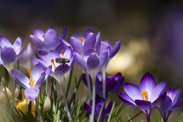 Voorjaar krokus schwertliliengewaechs
