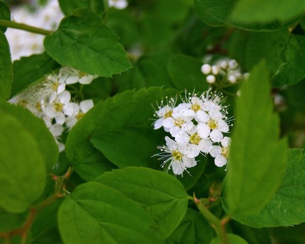 Voorjaarsbloeiende spirea met witte kleine bloemen met groene bladeren
