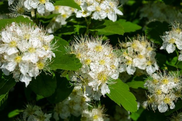 Voorjaarsbloeiende struik met veel witte bloemen - spirea. reeve's spiraea, bruidskransspirea, moerasspirea