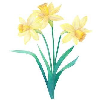 Voorjaarsboeket van felgele narcissen of narcissen en bladeren. drie bloemen. hand getekend aquarel illustratie. geïsoleerd op een witte muur.