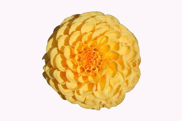 Voorste hoogste foto van een gele dahliabloem die op witte achtergrond wordt geïsoleerd