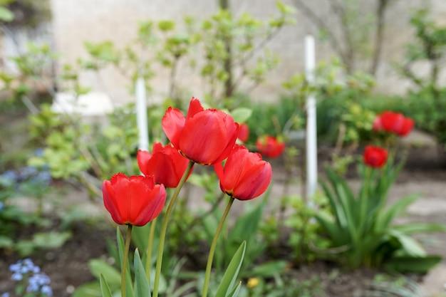 Voortuin met lentebloemen rode tulpen