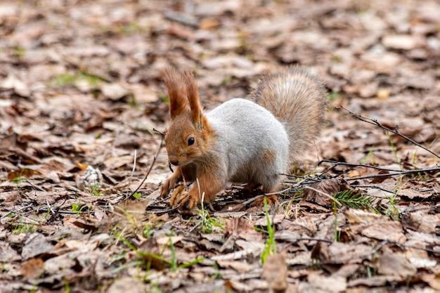 Voorzichtige grappige squirel die naar voedsel in het bos zoekt