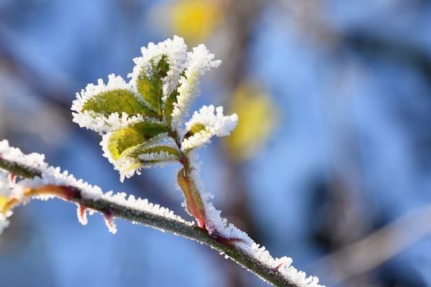 Vorst en sneeuw op takken. mooie winter seizoensgebonden achtergrond. foto van bevroren aard.