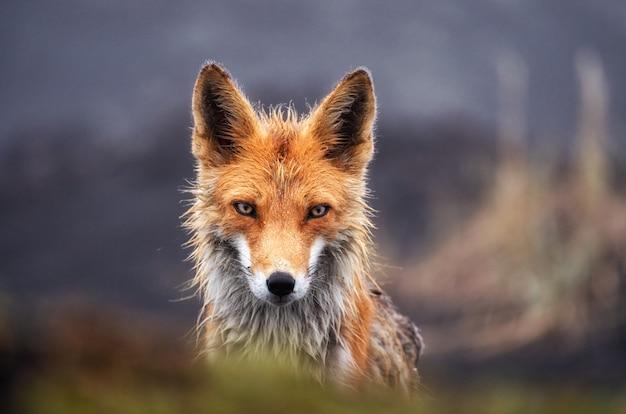 Vos in wilde dichte omhooggaand. rode vos op het schiereiland van kamtsjatka, rusland