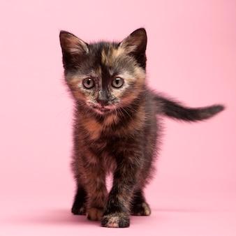 Voskat kitten met 2 maanden.