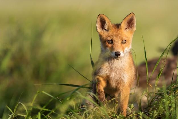 Vossenjong. jonge rode vos in gras in de buurt van zijn gat