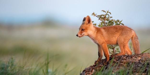 Vossenjong. jonge rode vos staat op een rots in het avondlicht.