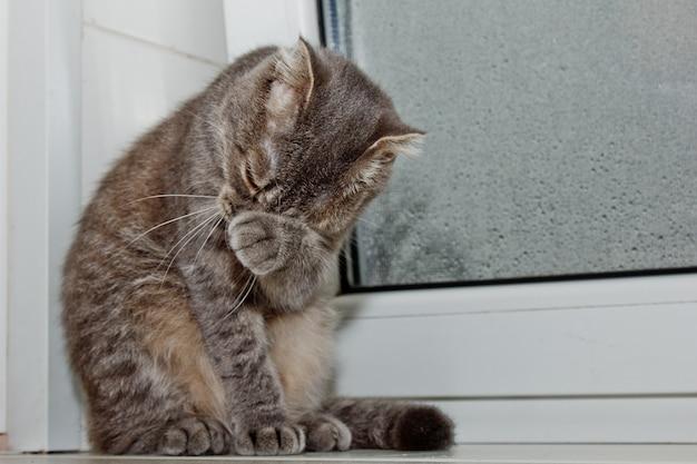 Vouw de schotse kat op de vensterbank