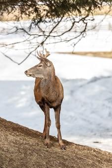 Vreedzame herten die onder een boom in de wintertijd rusten, koude de winterdag