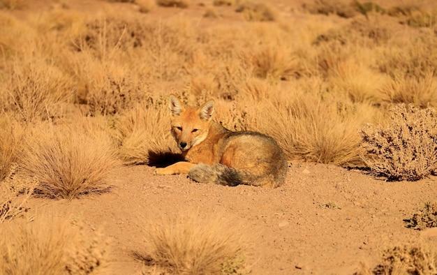 Vriendelijke andesvos die zonnebaadt op het gebied van de atacama-woestijn altiplano van noord-chili
