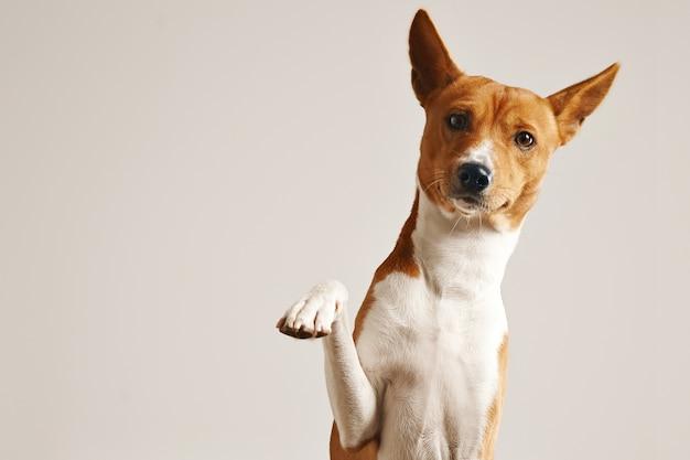 Vriendelijke slimme basenji-hond die zijn poot dicht omhoog geïsoleerd op wit geeft
