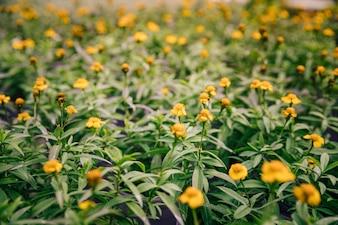 Vrij gele bloemen op een bloeiende tijminstallatie