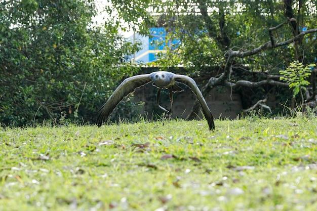 Vrij vliegende adelaar in valkerijtraining